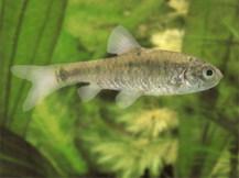 Зеленый барбус - мирная, уживчивая рыбка.