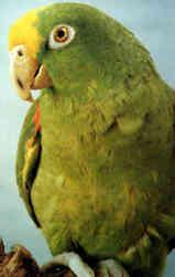 Мелкие попугаи:волнистые, неразлучники, кореллы, розеллы, певчие попугаи.
