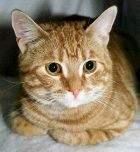 Европейская короткошерстная кошка (EUR, ESH)