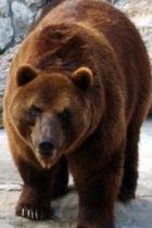 Для зимовки медведи предпочитают высокоствольные ельники и острова леса...
