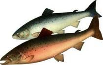 Японцы сделали кровеносные сосуды из кожи лосося - Новости.