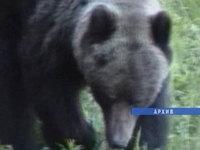 Медведи наступают на Братск.