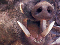 5 октября в Пермском крае во время охоты на кабана погиб